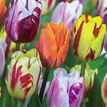 Flaming Beauties Tulip Mixture
