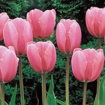 Wow® Perennial Tulip Collection