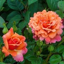 Easy Does It® Floribunda Rose