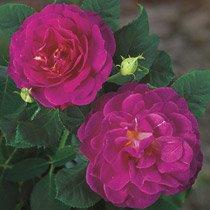 Outta the Blue™ Shrub Rose
