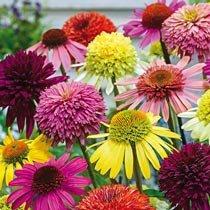 Coneflower - Echinacea Plants
