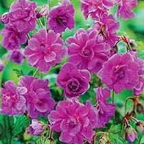 Everblooming Hardy Double Geranium Collection