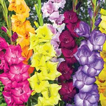 Gladiolus Cutflower Mixture