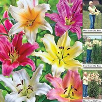 Lily Tree® Mixture