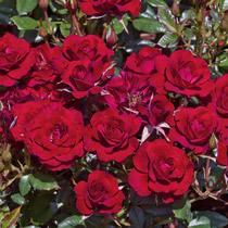 Ruby Ruby™ Miniature Rose