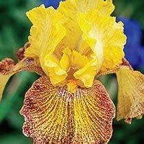 Jitterbug Bearded Iris