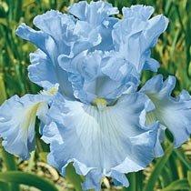Absolute Treasure Tall Bearded Iris