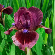 Cat's Eye Dwarf Bearded Iris