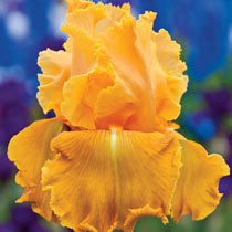 Orange Splash Iris