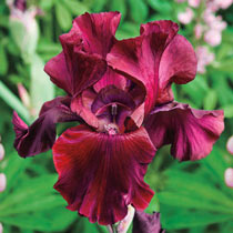Red Riches Bearded Iris