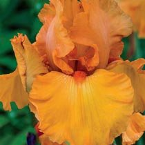 Penny Lane Reblooming Bearded Iris