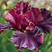 Raptor Red Bearded Iris