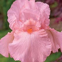 Pink Attraction Reblooming Bearded Iris