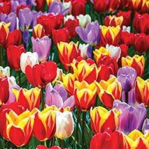 Forever Spring™ Tulip Mixture