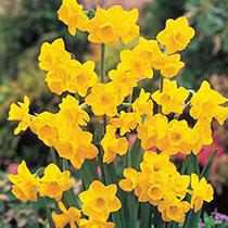 Quail Daffodil