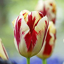 Grand Perfection Tulip