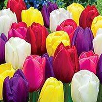 Midseason Tulip Mixture