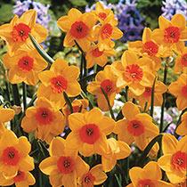 Kedron Jonquilla Daffodil