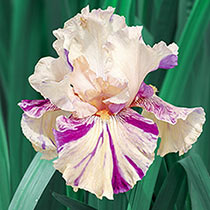 Peach Jam Reblooming Bearded Iris