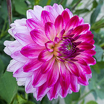 Seniors Dream Dahlia