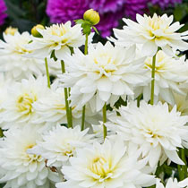 Decorative Dahlias