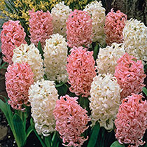 French Perfume Hyacinth Mixture