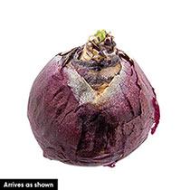 Pink Grape Hyacinth