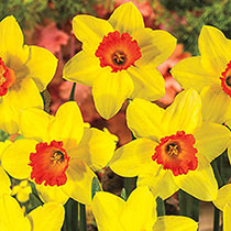 Red Devon Daffodil