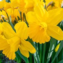 Golden Harvest Daffodil