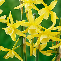 Hawera Daffodil