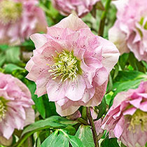 Pink Frost Double Wow!® King-Size Hellebores