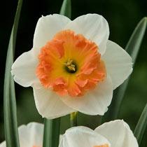 Precocious Daffodil