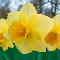 Golden Salome Daffodil