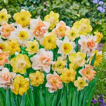 Citrus Sorbet Daffodil Mixture