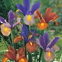 Tiger Dutch Iris Mixture
