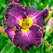 Excellent Reblooming Daylily