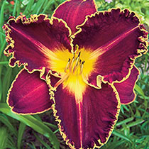 Storm Of The Century Reblooming Daylily