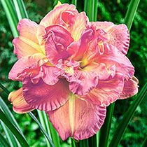 Candlelight Dinner Reblooming Daylily
