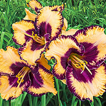 Open My Eyes Daylily