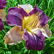 Longfields Woodpecker Reblooming Daylily