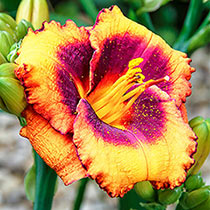 Madeline Nettles Eyes Reblooming Daylily