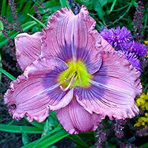 Siloam New Toy Daylily