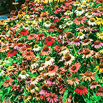Cheyenne Spirit Coneflower Mixture