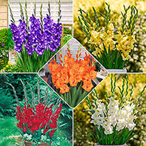 Glamini® Gladiolus Collection