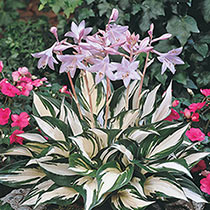Exotic Colour Hosta Collection