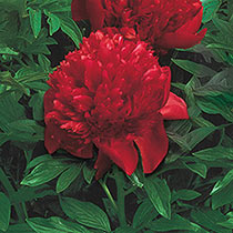 Lifetime Peony Collection