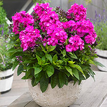 Compact Bambini® Phlox Collection