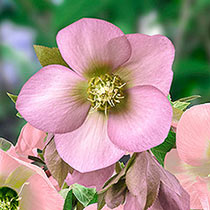 Single-Flowered Wow!® Hellebore Collection