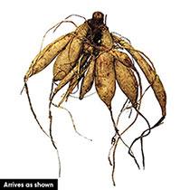 Dahlegria Bicolore Dahlia