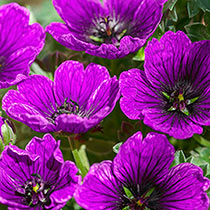 Purple Jolly Jewel Geranium